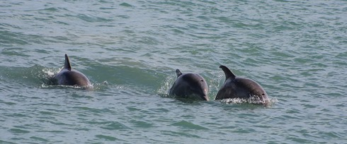 South Padre Island Dolphins