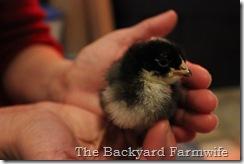 chicks 06