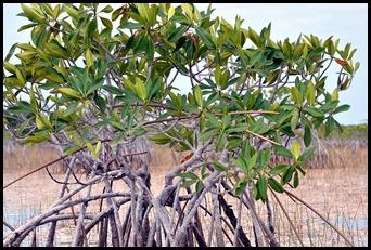 09d - Mangrove