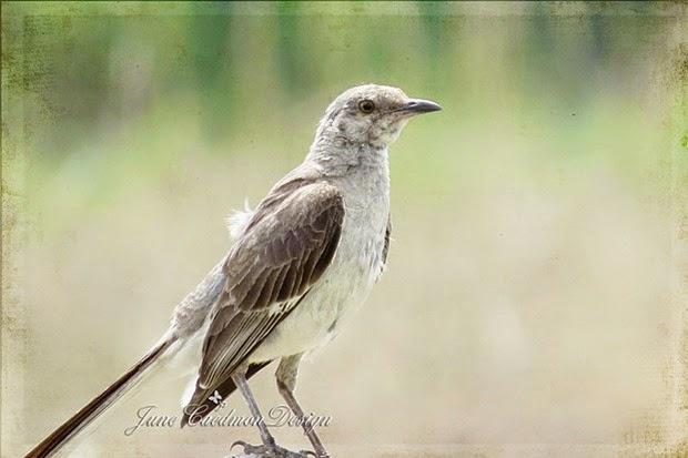 Mockingbird_kkprinted
