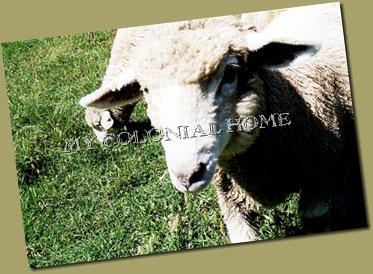 Sheep_0011