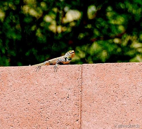 13. lizard-kab