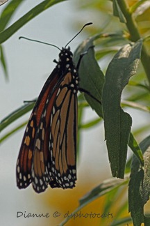 IMG_6931 Monarch Butterfly 3x4