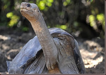 Amazing Animals Pictures Pinta Island tortoise (6)