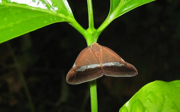 « Cigales-papillons » : Hemiptera, Auchenorrhyncha, Ricaniidae. Wli Falls, Agmatsa Wildlife Sanctuary (Ghana), 11 janvier 2006. Photo : Henrik Bloch