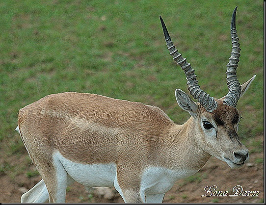 Safari_Blackbuck2
