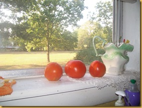 tomatoes on my windowsill-front yard summertime 005