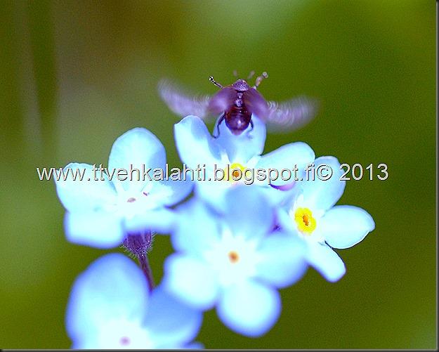 pikkutukkikärsäkkäästä (Hylobius pinastri)  muita hyönteisä 052