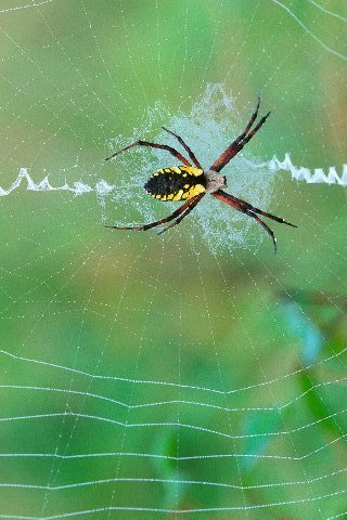 Spinning-a-web-argiope