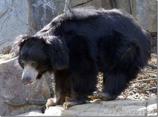 urso de mysore