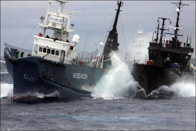A Sea Shepherd ship intervenes against a Japanese whale poaching ship, the Nisshin Maru #3, in the waters of the Southern Ocean Whale Sanctuary. Photo: Sea Shepherd Conservation Society