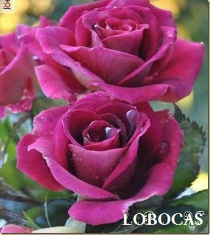 Rosa-LoBocAs-9002