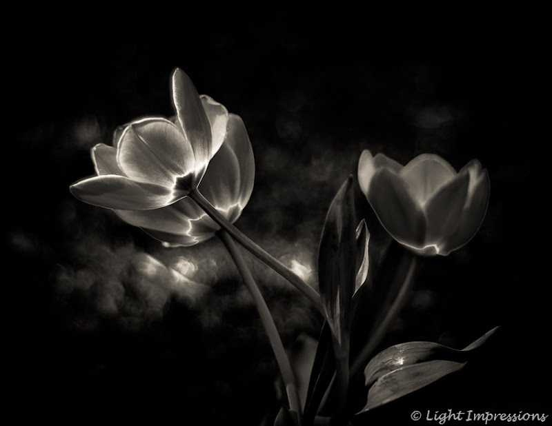 Light Impressions-Tulips