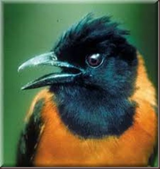 Amazing Pictures of Animals Pitohui Poisonous Bird. Alex (10)