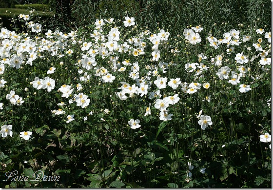 FPC_Anemones_Japanaese_White