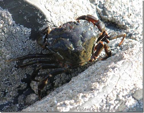 28-shore-crab