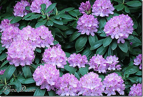 Rhododendron_Lavender_May2