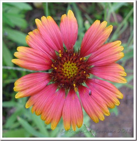 06-23-blanket-flower2