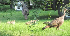 turkeys 2 with babies