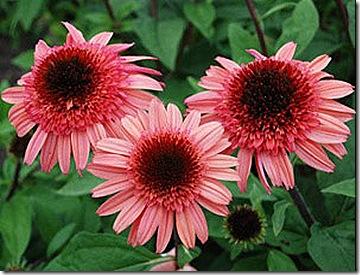 Echinacea_RaspberryTruffle