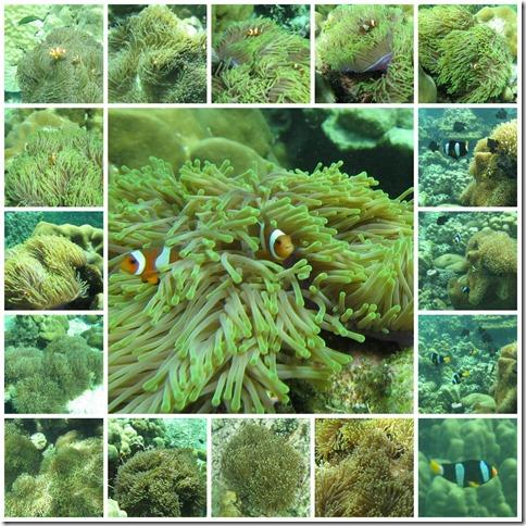 anemone_clownfish