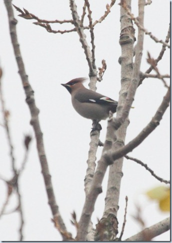 waxwing