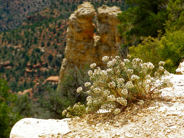 Flowers North Rim Grand Canyon Crazy Jug Point