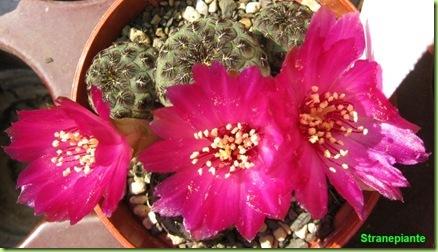 Rebutia canigueralii Sin Sulcorebutia rauschii fiori