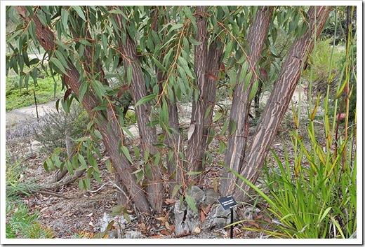 111015_Santa-Cruz_UCSCA_Eucalyptus-staeri_02