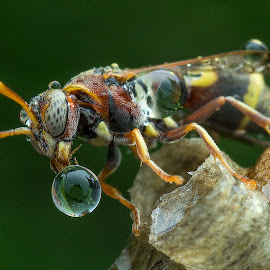 Wasp Blow Water Bubble 141128B by Carrot Lim - Animals Insects & Spiders