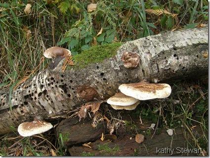 Shelf fungi