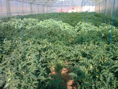 No Pruning Leads to Overgrown Tomato Plants