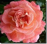 ws rose
