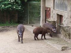 2009.05.22-025 tapirs