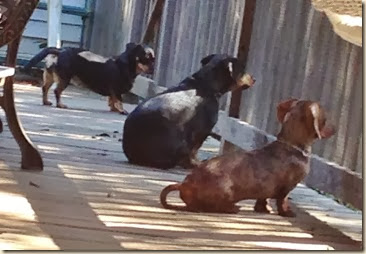 3 Doxies