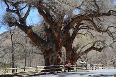 Big...Cottonwood Tree...Fruita, UT
