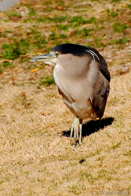 5. BC night heron-kab