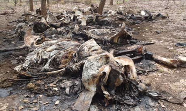The carcasses of elephants slaughtered by poachers in Bouba Ndjida national park in northern Cameroon, in early 2012. AP