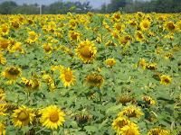 Słoneczniki Photo