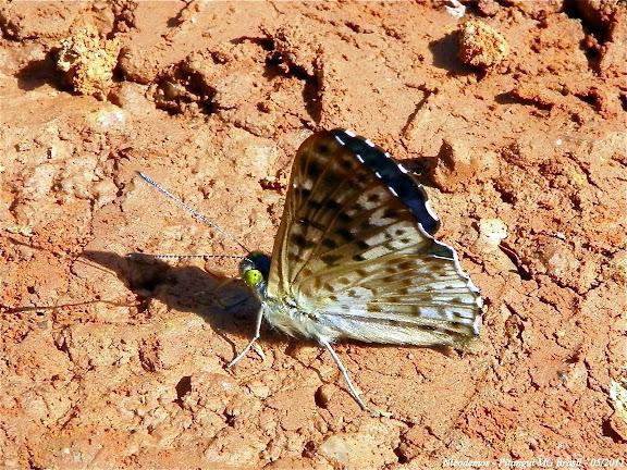 Riodinini : Lasaia agesilas (LATREILLE, [1809]), verso. Pitangui (MG, Brésil), 9 mai 2011. Photo : Nicodemos Rosa