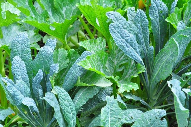 garden_kale_squash
