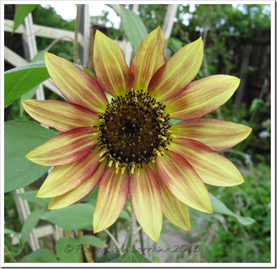06-23-sunflower4