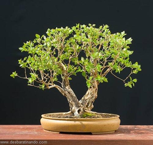 bonsais arvores em miniatura desbaratinando (81)