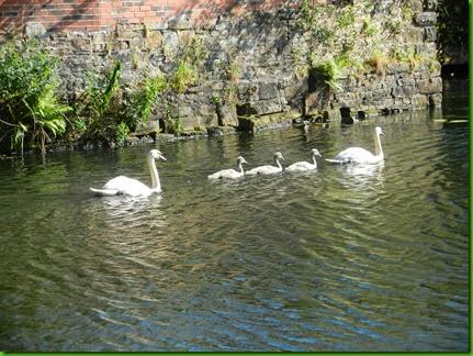 DSCN0986  Swan family