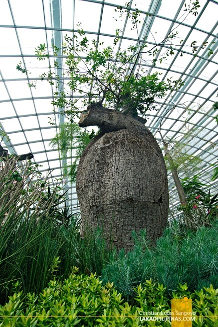 Baobabs at Singapore's Flower Dome!