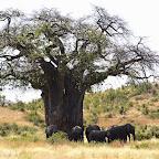 Ruaha Nationalpark, Elefanten unter einem Baobab © Foto: Ulrike Pârvu | Outback Africa Erlebnisreisen