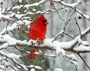 Amazing Pictures of Animals,photo, Nature, exotic, funny, incredibel, Zoo, Northern Cardinal, (Cardinalis cardinalis), Bird, Aves, Alex (7)