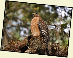 07 - Red Shoulder Hawk