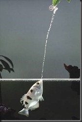 Archerfish-Tunes-its-Shot-Power-to-the-Prey-Size-2