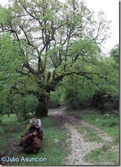 Gran roble a la salida del pueblo de Andoin - Álava